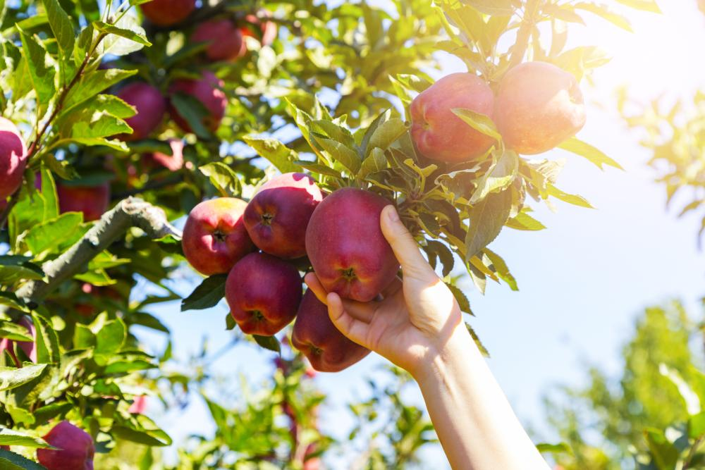 Apple tree (4)