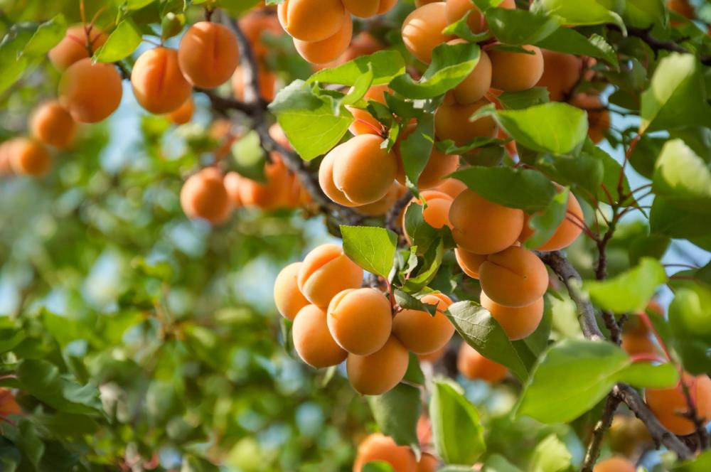 Apricot Growing Problems