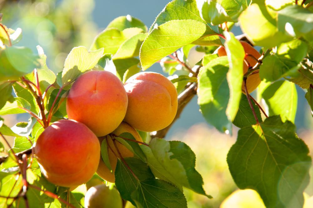 Apricot tree (2)
