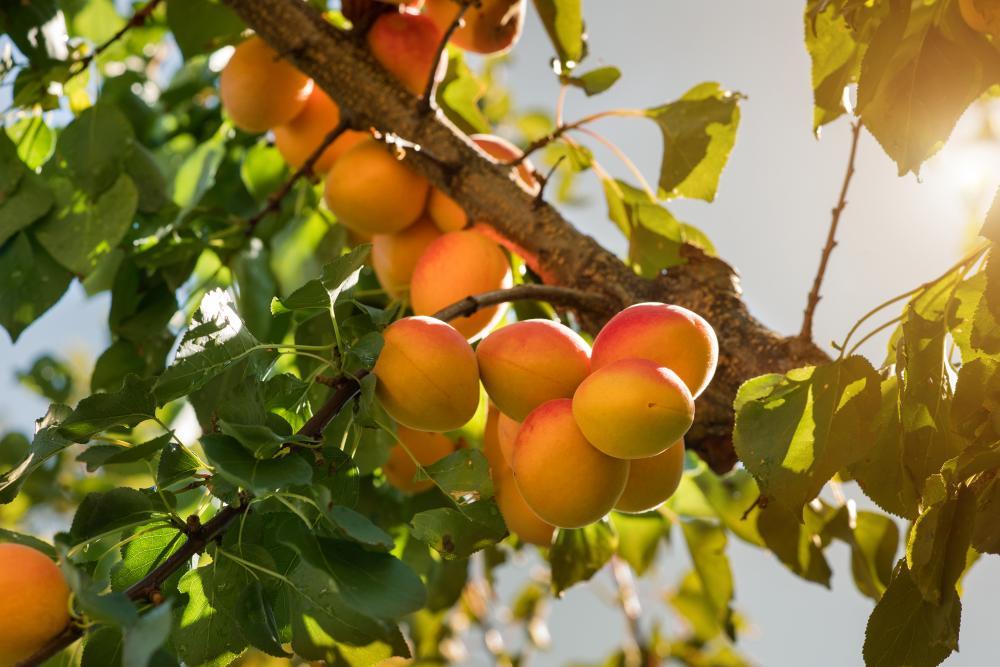 Apricot tree (3)