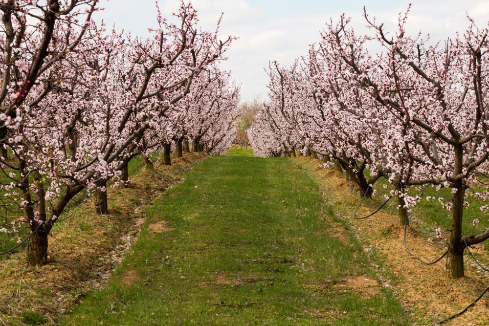 Apricot tree (4)