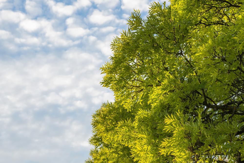 Ash tree (1)