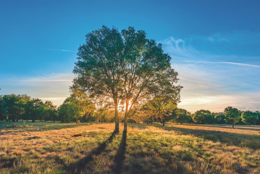 Ash tree (2)