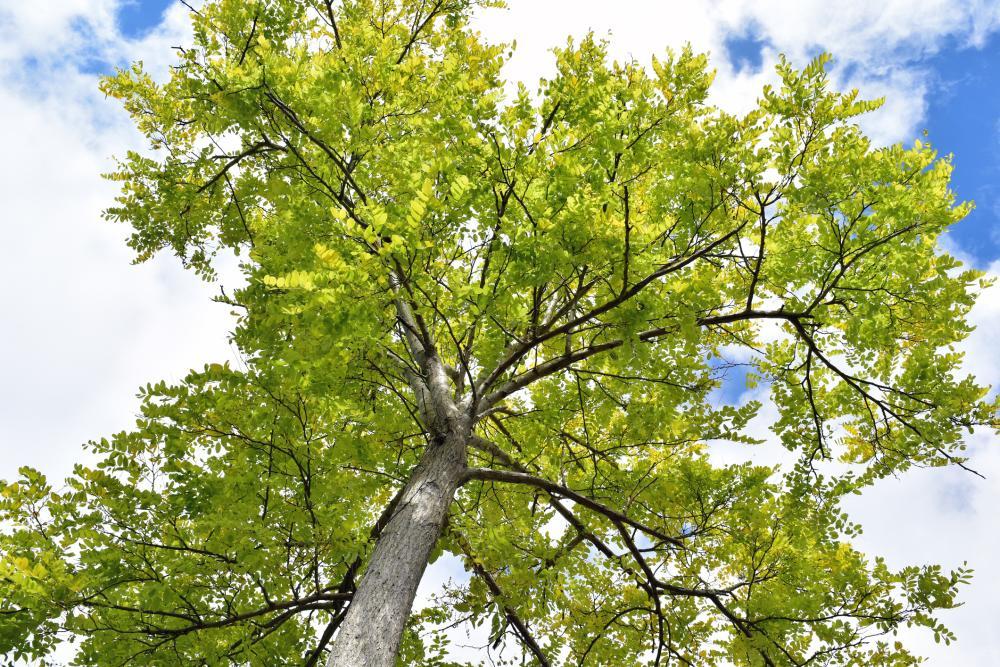 Ash tree (3)