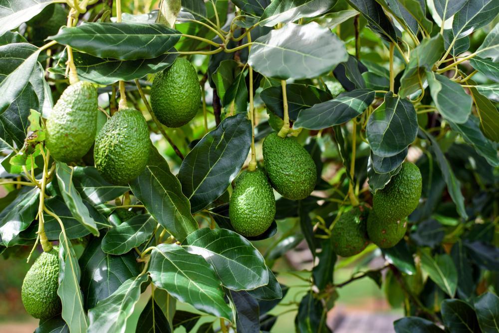 Avocado tree (3)