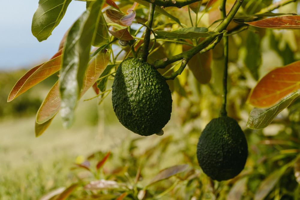 Avocado tree (4)