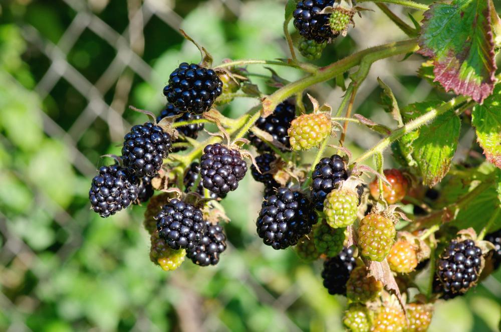 Blackberry problem (4)