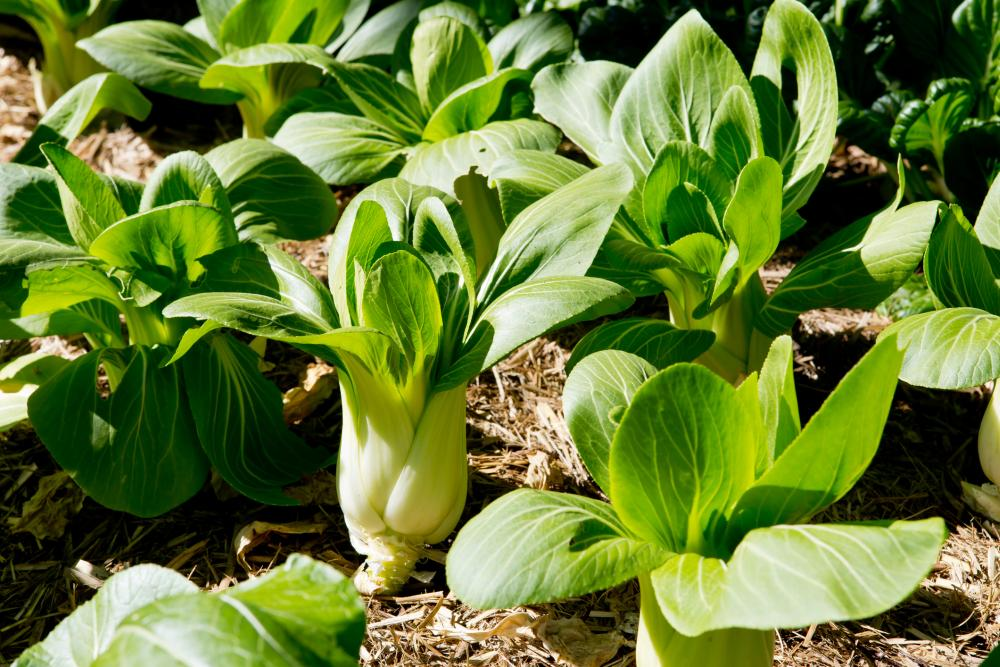 Bok Choy Growing Problems