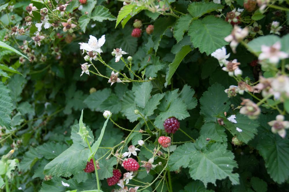 Boysenberry (3)