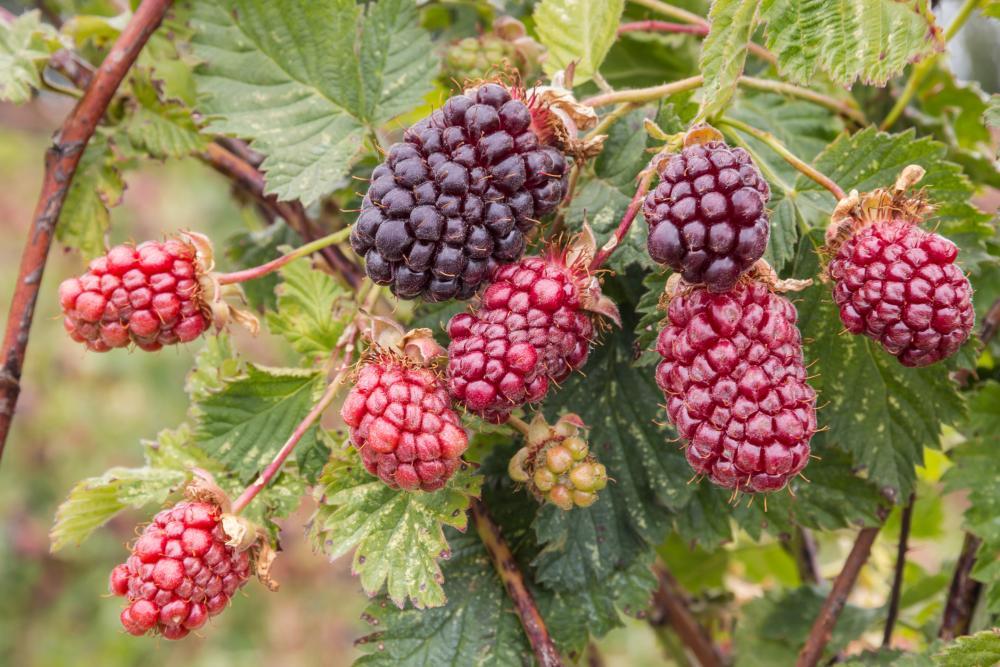 Boysenberry growth (2)