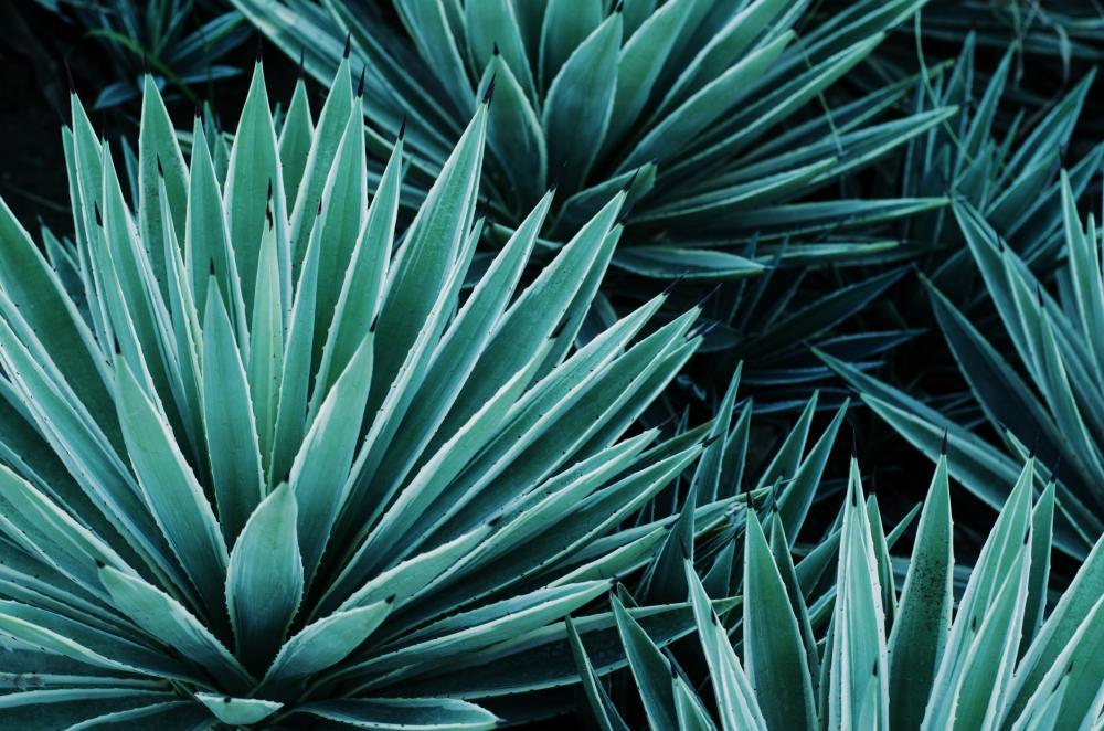 Century plant agave (3)