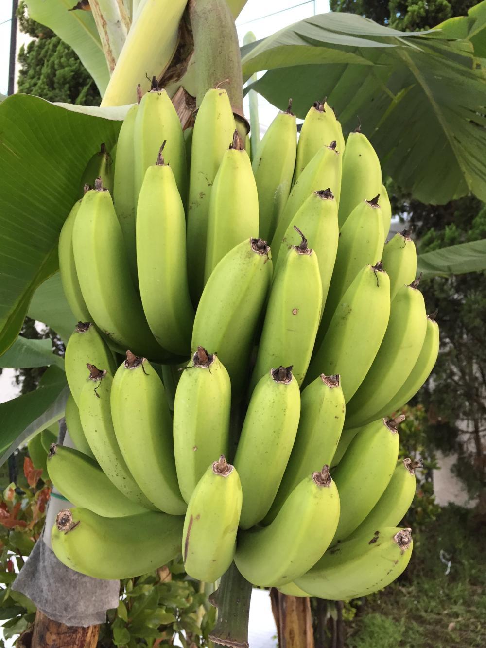 William banana