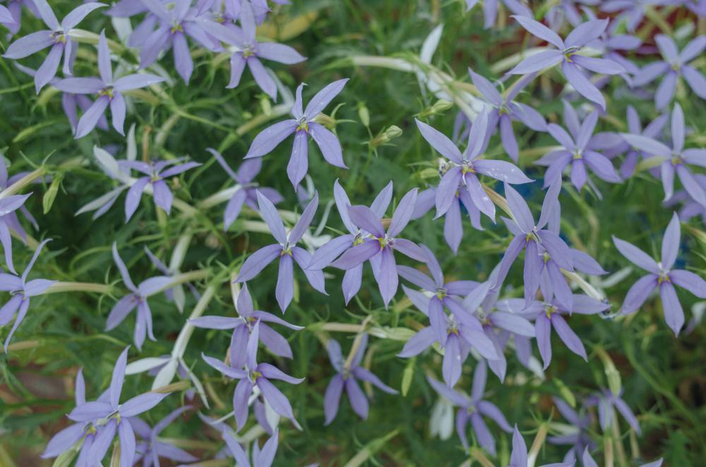 Amsonia varieties