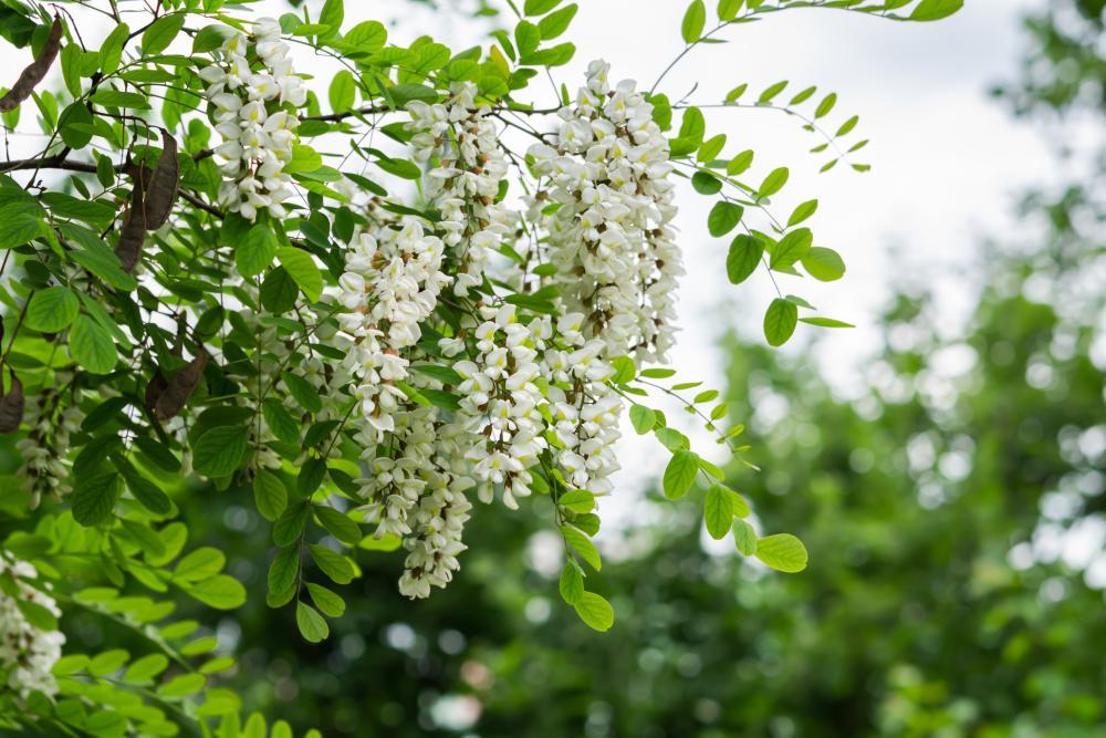 Acacia varieties