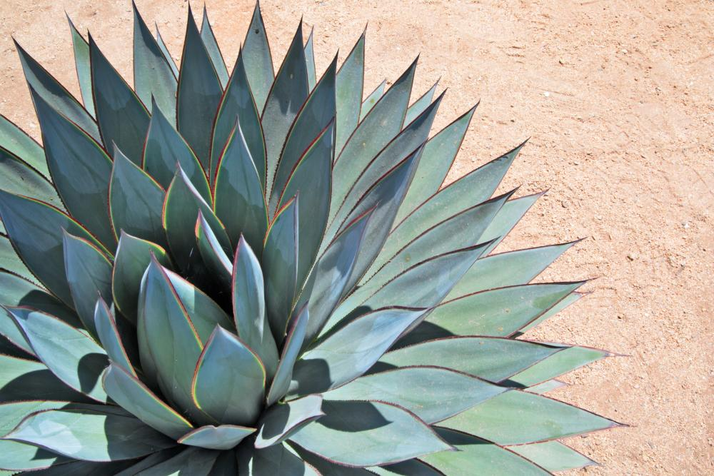 Agave problems (1)