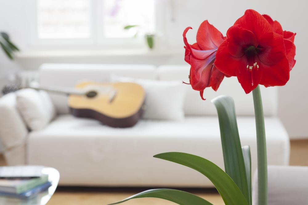 Amaryllis care how to