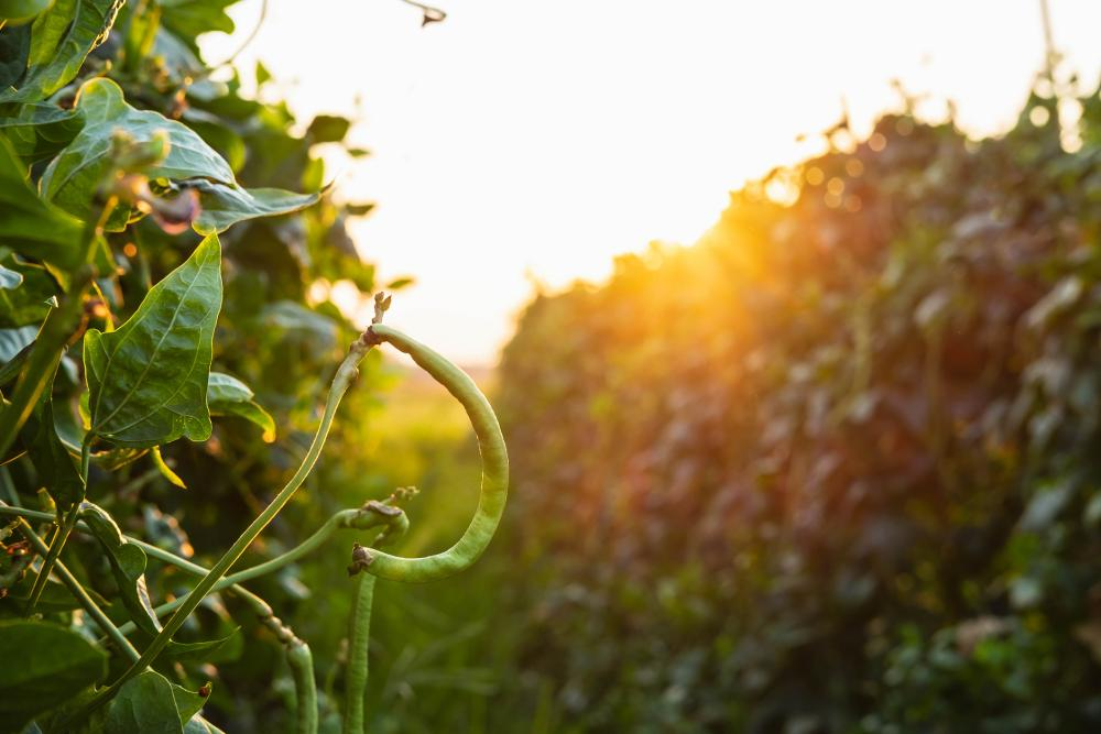 Black eyed peas cultivars