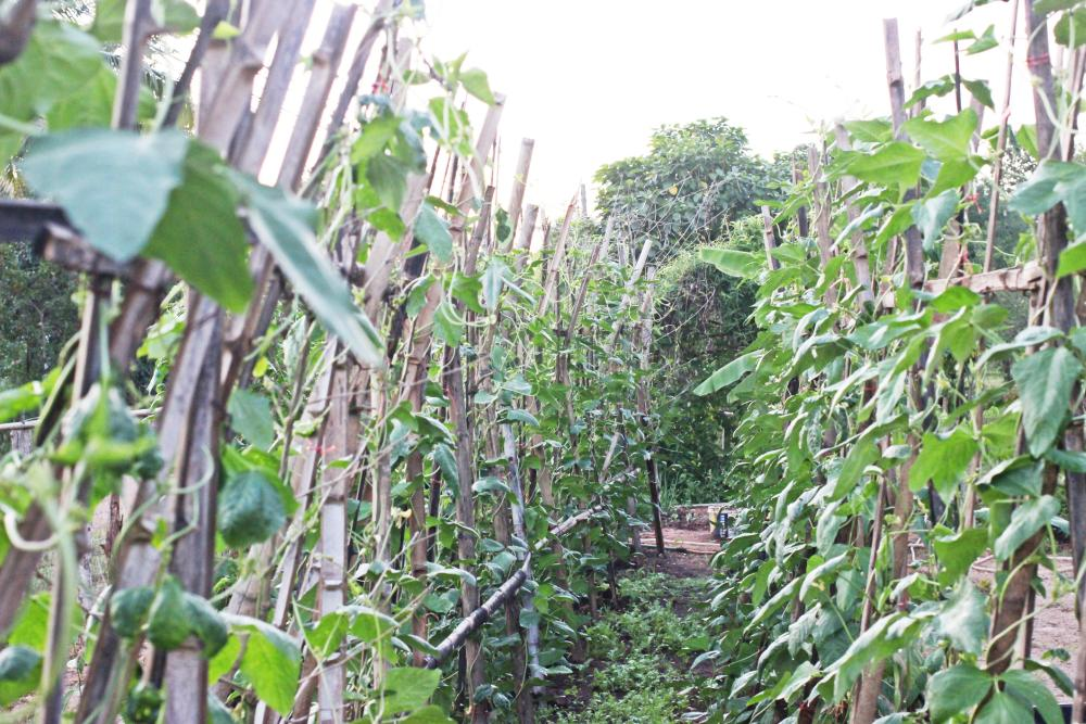Black eyed peas management