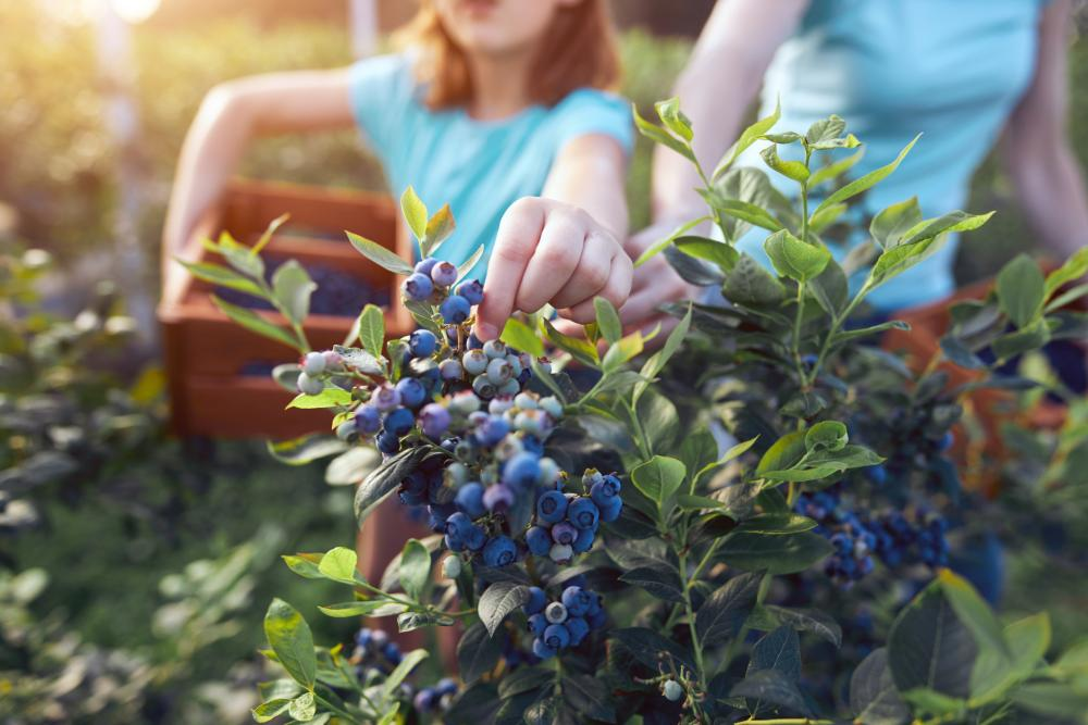 Blueberry disease 3