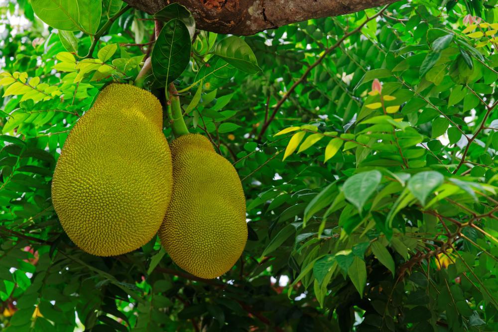 Breadfruit care