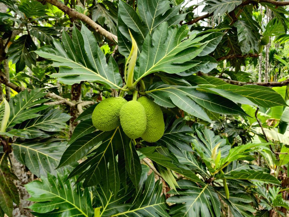 Breadfruit varieties blanco