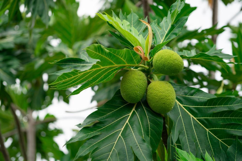 Breadfruit varieties fruits