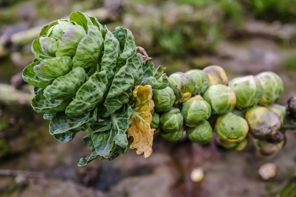 Brussels sprouts loose leafed