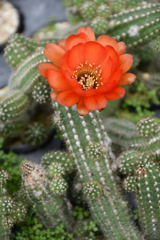 How to propagate peanut cactus