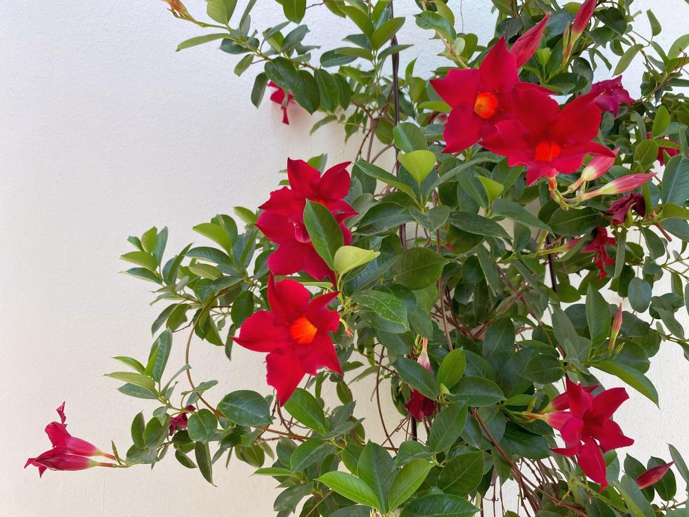 Mandevilla trellis vine how to grow