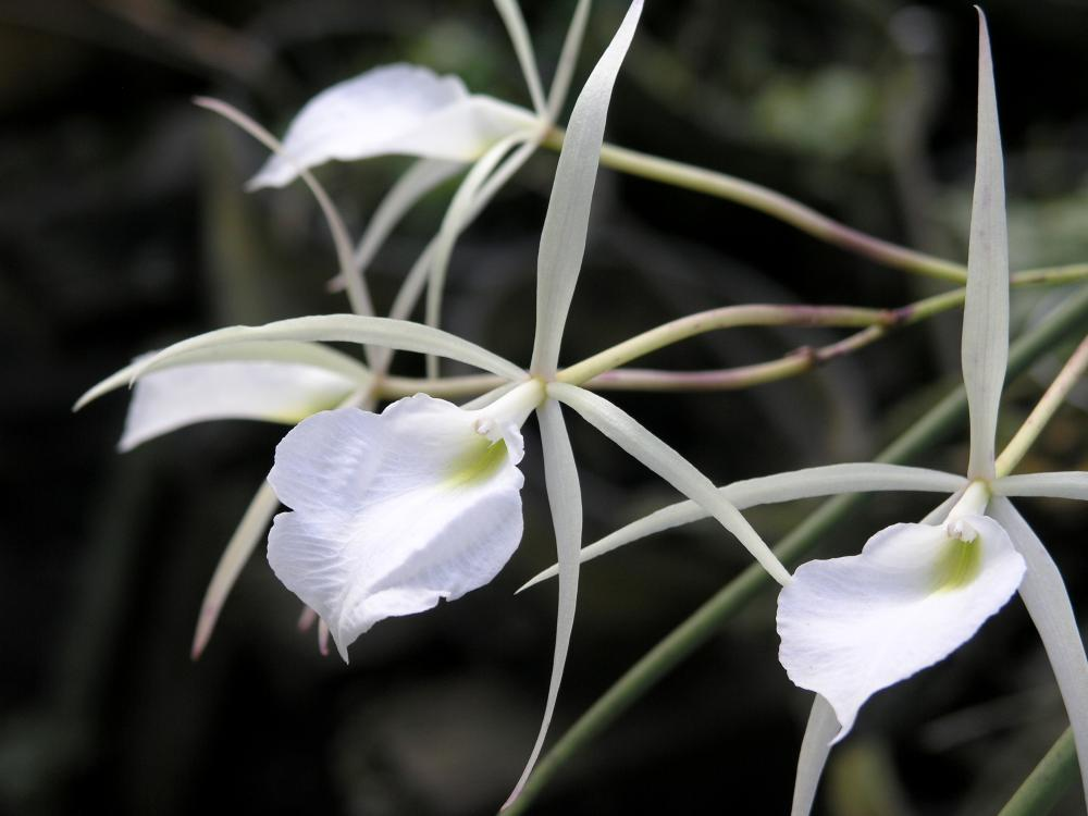 Orchid varieties brassavola orchids