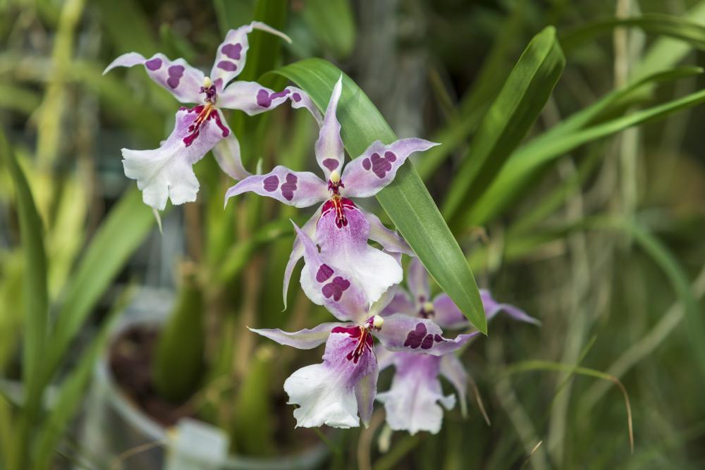 Orchid varieties odontoglossum orchids