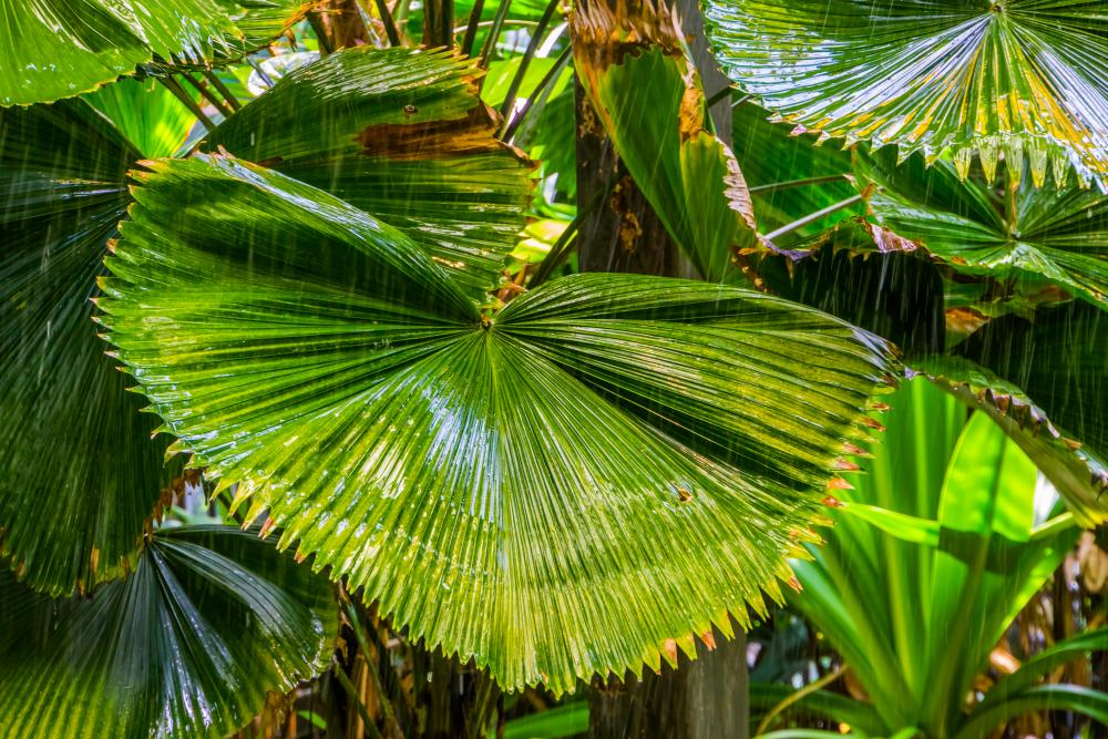 Palm varieties chinese fan palm
