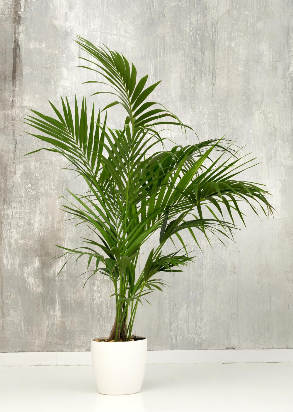 Palm varieties kentia palm