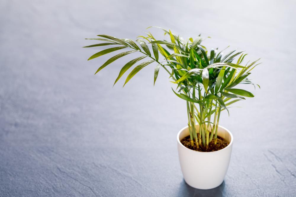 Palm varieties parlor palm