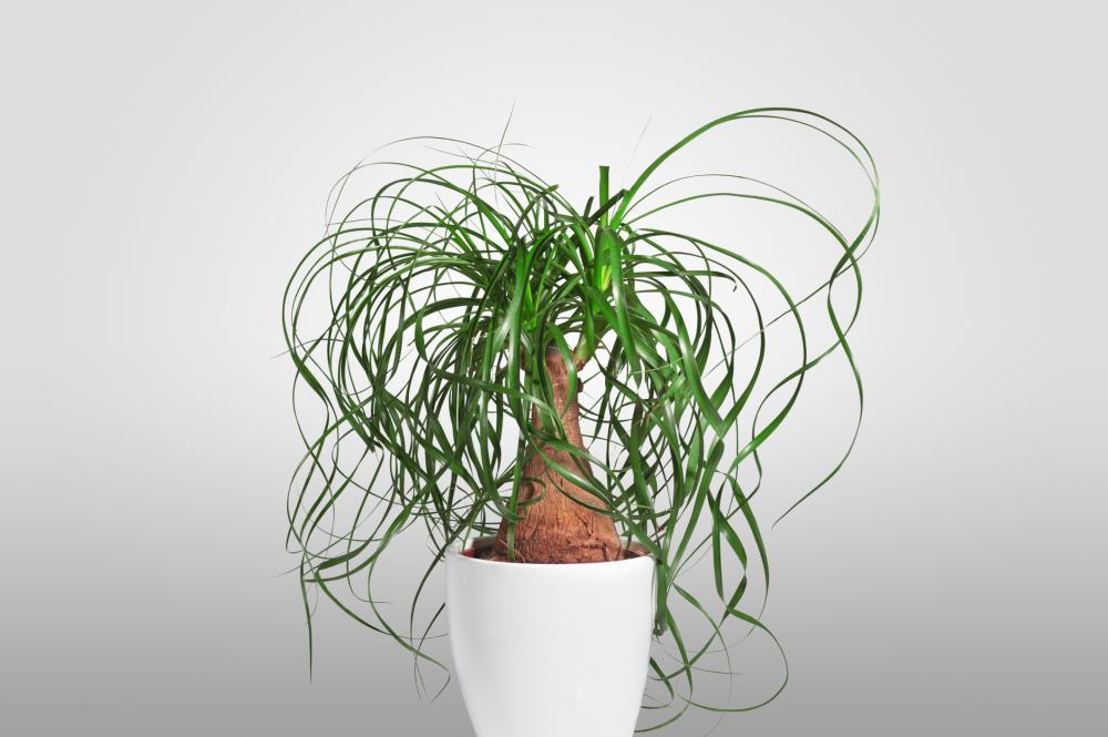 Palm varieties ponytail palm