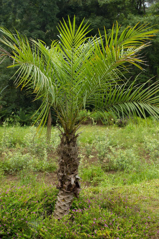 Palm varieties pygmy date palm