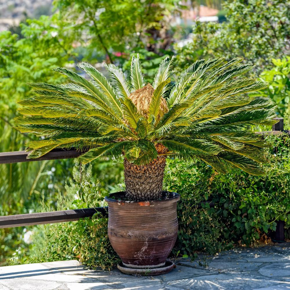 Palm varieties sago palm