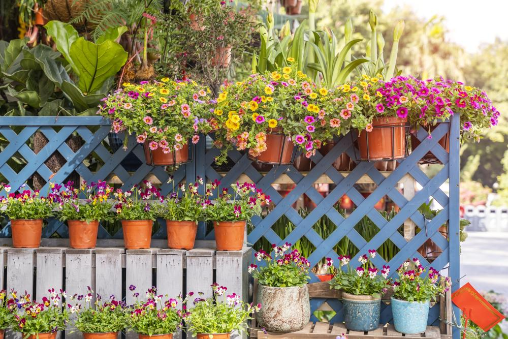 Petunia growing problems