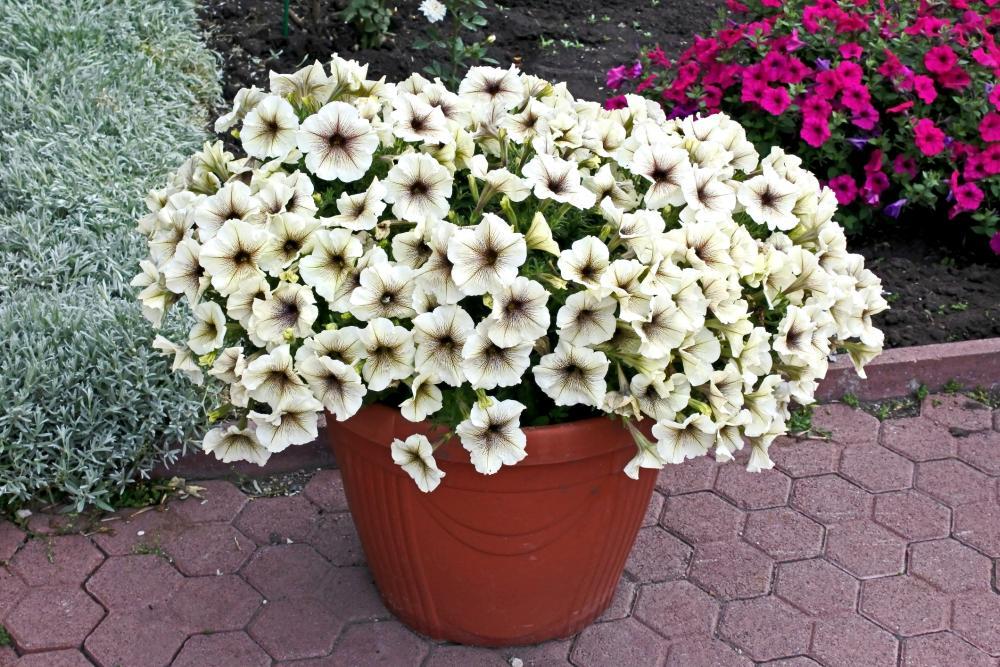 Petunia varieties prism sunshine