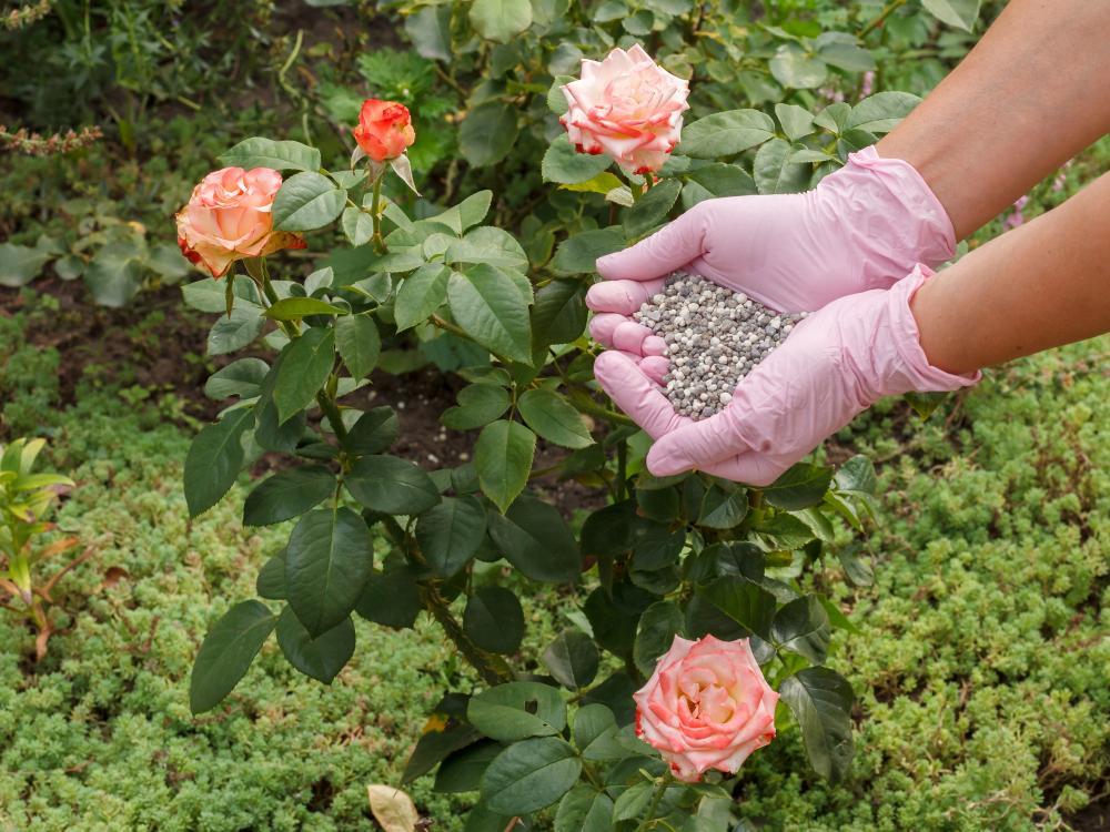 Rose problem fertilizer