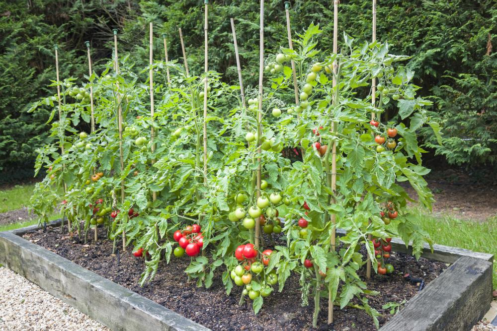 Tomato problems trellis