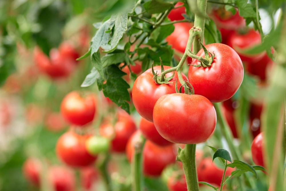 Tomato sweetening